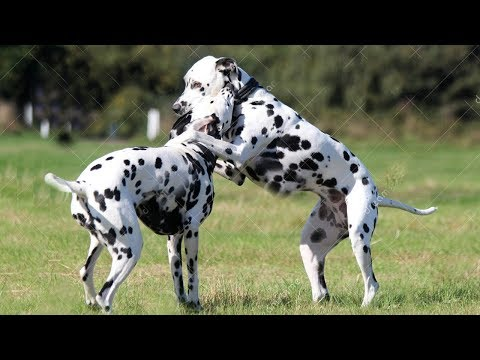 Dalmatian Dog Loves In The First Time