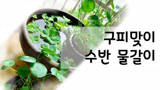 천연가습/항아리어항 수생식물 수경재배 / 환수 (물갈이…