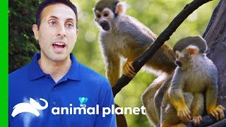 Moving Adorable Baby Squirrel Monkeys to 'Monkey Island' | The Zoo