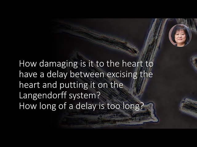 How long should it take to excise the heart and hang it on the Langendorff system?