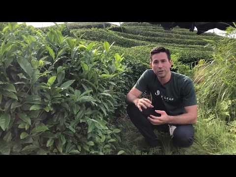 First Harvest 2018 - Limited Edition Single Origin Organic Ceremonial Grade Matcha Introduction