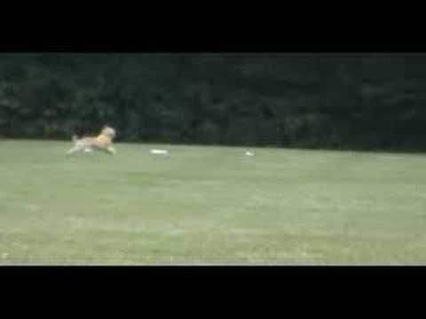 Afghan Hounds Lure Coursing Movie - YouTube Afghan Hound Lure Coursing