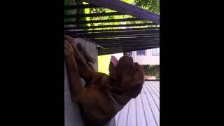 Dogue De Bordeaux Beast