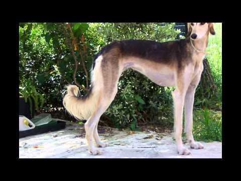 Салюки/Saluki (порода собак HD slide show)!