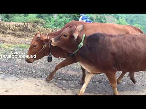 GOOD !!! Cách phối giống cho bò 13 |  Cow breeds - Bò Nọc Trại Bò QUỐC HÙNG