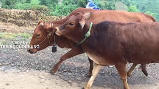 GOOD !!! Cách phối giống cho bò 13    Cow breeds - Bò Nọc Trại Bò QUỐC HÙNG