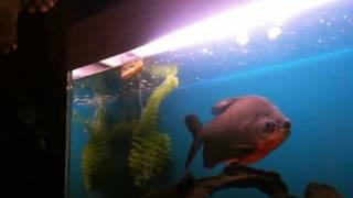 Аквариумная пиранья поедает хищную рыбу 1ч.