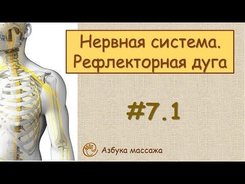 Нервная система....