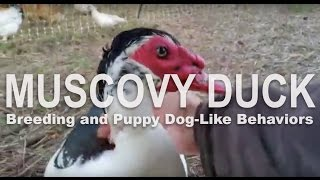 Muscovy Duck Breeding Behaviors