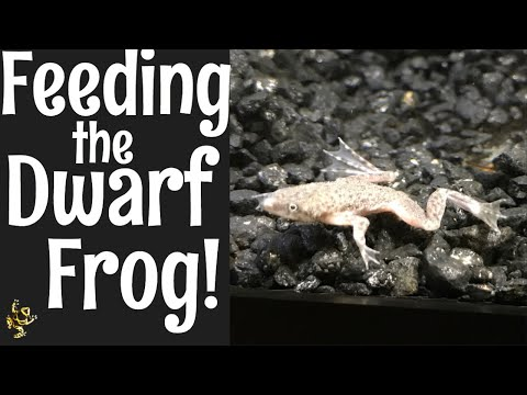 Feeding The Dwarf Frog