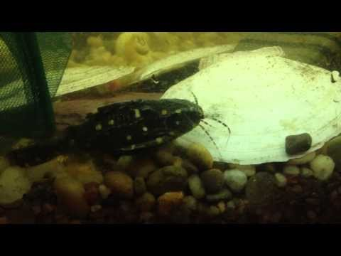 African Featherfin with Spotted Leaf Fish. (S. Eupterus, Ctenopoma Acutirostre) from YouTube · High Definition · Duration:  3 minutes 46 seconds  · 552 views · uploaded on 3/6/2016 · uploaded by Dan Hiteshew