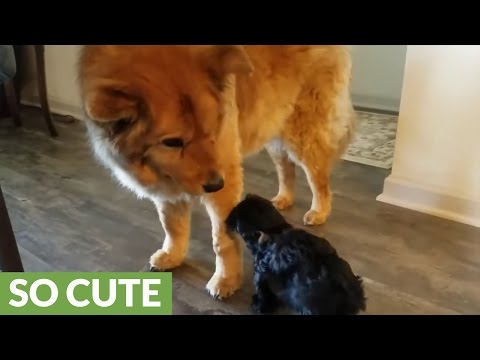 Puppy stops at nothing to get attention from blind dog