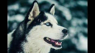 Социализация собак на примере хаски по кличке Амур