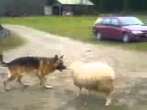 Овчарка против овцы  Прикол!