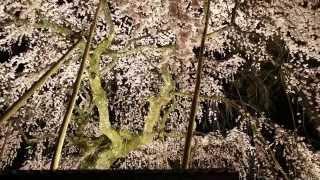 桜堂薬師 の しだれ桜 ・桜堂 sakuradou