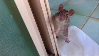 Comet & Pokie   Domestic Versus Wild Pet Rats