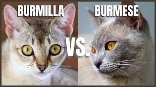 Burmilla Cat VS. Burmese Cat
