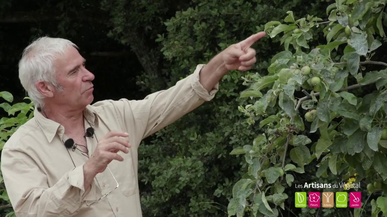 Moins de pommes par POMMIER, pour des récoltes abondantes, savoureuses et régulières: ÉCLAIRCISSAGE