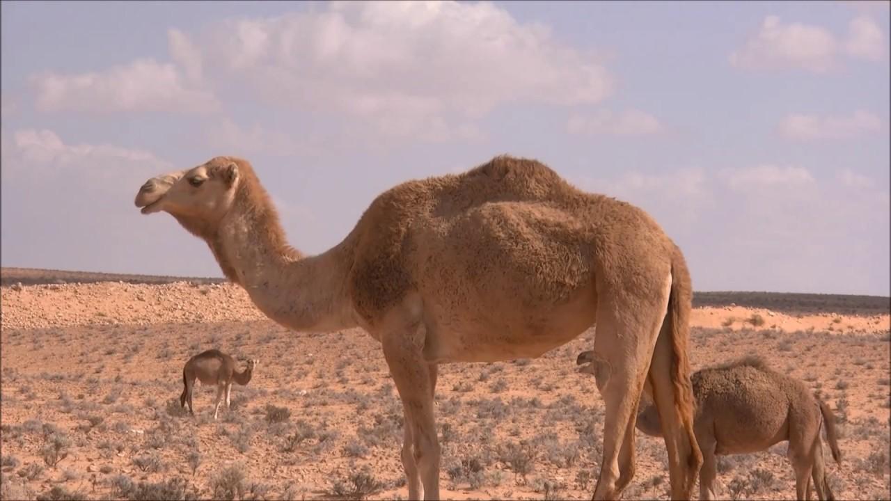 Ships of the Desert - The Secrets of Camel - YouTube