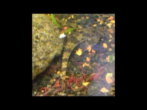 Farlowella's Behavior Indicates a Change in My Aquarium from YouTube · High Definition · Duration:  6 minutes 17 seconds  · 1,000+ views · uploaded on 12/23/2016 · uploaded by Dan Hiteshew