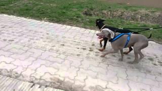 Dogscooter Weimaraner Luna Und Dobermann  Ronja