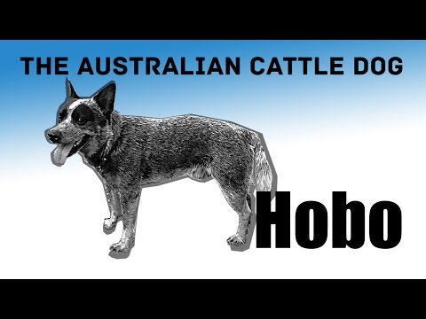 Australian cattle dog Hobo catching ball. Blue heeler exercises