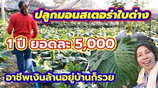 ปลูกมอนสเตอรร่าไทยคอนหรือใบด่าง1ปีตัดยอดขายยอดละ5, 000 บาทได้สบาย#อาชีพเงินล้านอยู่บ้านก็รวย