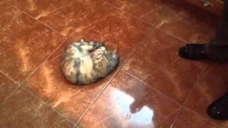 【たまらニャい】オリーブ缶で思わずヘソ天ダンス猫