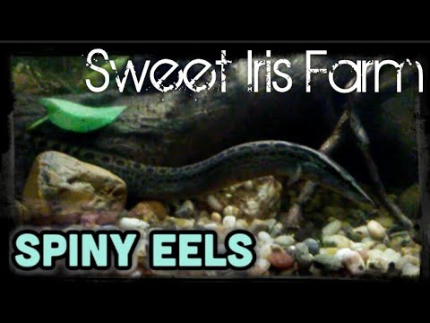 Spiny Eels - Freshwater Eels