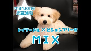 MIX(トイプー×ビション)★マルワン武蔵浦和店(さいたま市のペットショップ) thumbnail