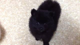 For Sale: Ckc Pomeranian Pups