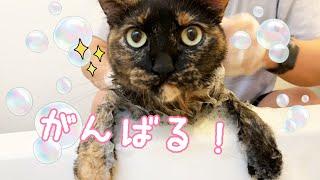 良い子すぎて感動するサビ猫モモちゃんのシャンプー!