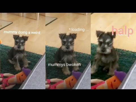 Cute dog reacts to my humming (Suzie the schnauzer puppy)