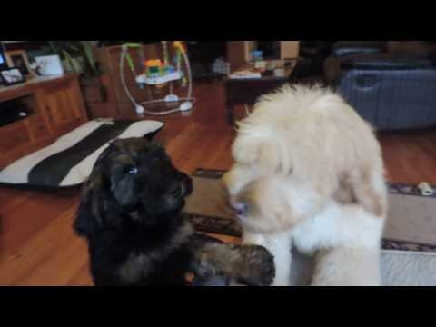 Labradoodle Breeding Dogs SUGAR and WYATT