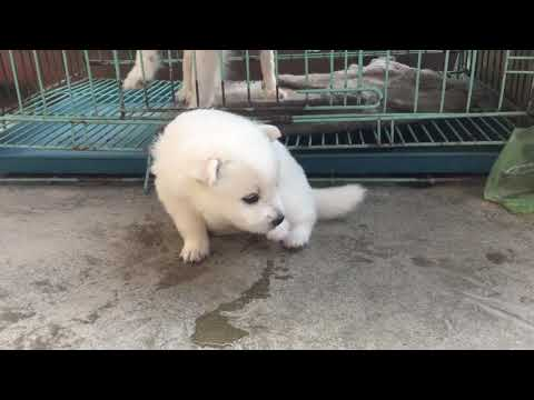 Japanese spitz baby 25 days Old