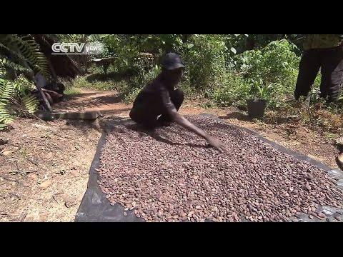 Cote D'Ivoire's Cocoa Under Threat