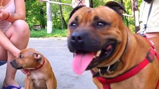 Буч и сын. Стаффордширский бультерьер. Staffordshire Bull Terrier.