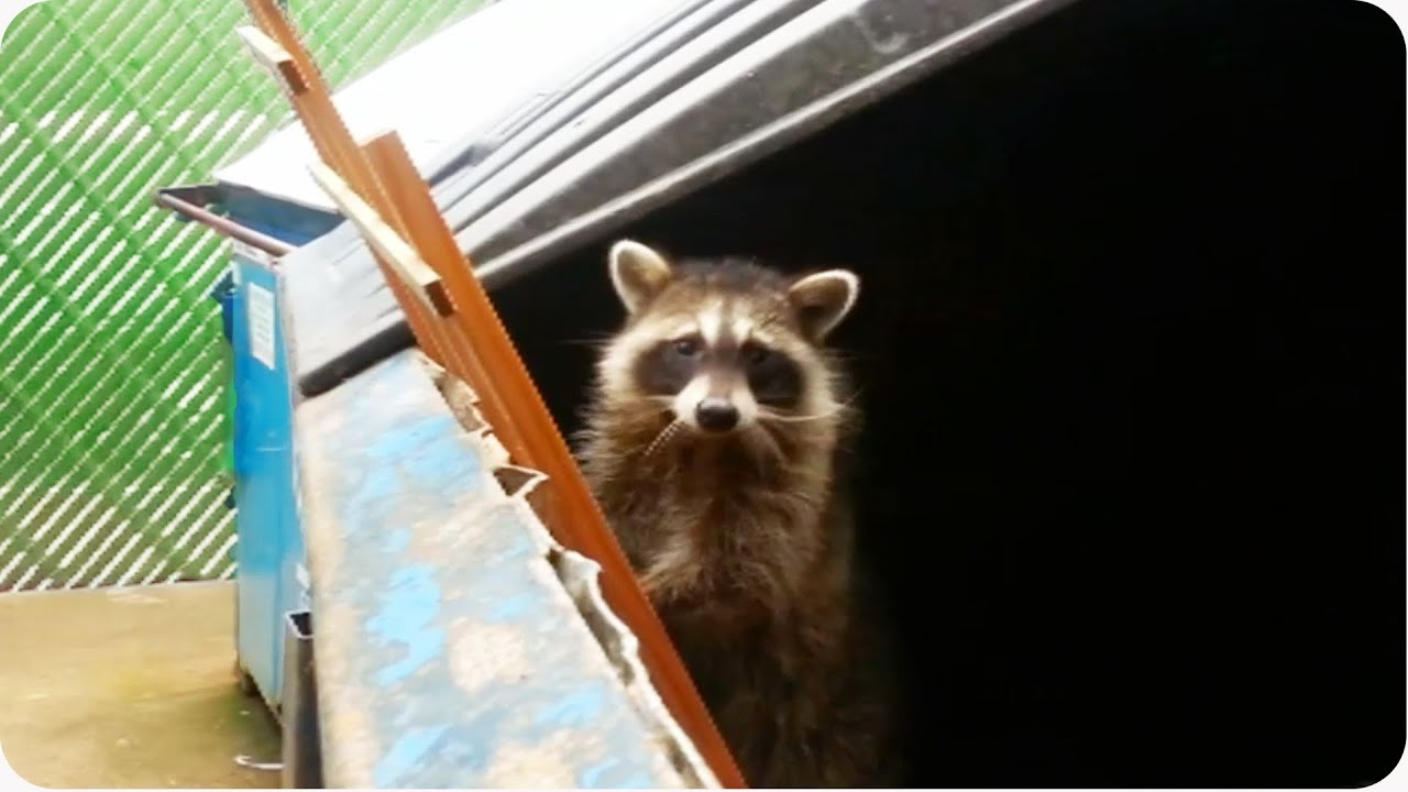 Raccoon Dumpster Rescue