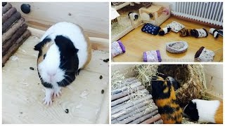 Tips For Improving Your Guinea Pigs' Cage