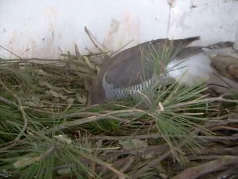 femea de açor construir o seu ninho