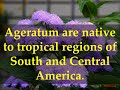 Facts about Ageratum Plants