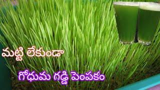 మట్టి లేకుండా గోధుమ గడ్డి పెంపకం, జ్యూస్ తయారీ విధానం!! How to grow wheat grass without soil