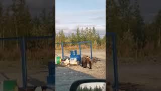 Медведь роется в мусоре, Надым