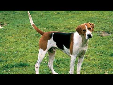 English Foxhound Parasite Prevention