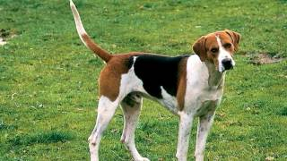 Protect Your English Foxhound from all parasites like Flea, Tick, H...