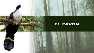 """Documental EL PAVÓN """"Unicornio del Bosque de Niebla"""""""