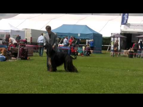 Blackpool 2016 - Afghan Hound Best of Breed