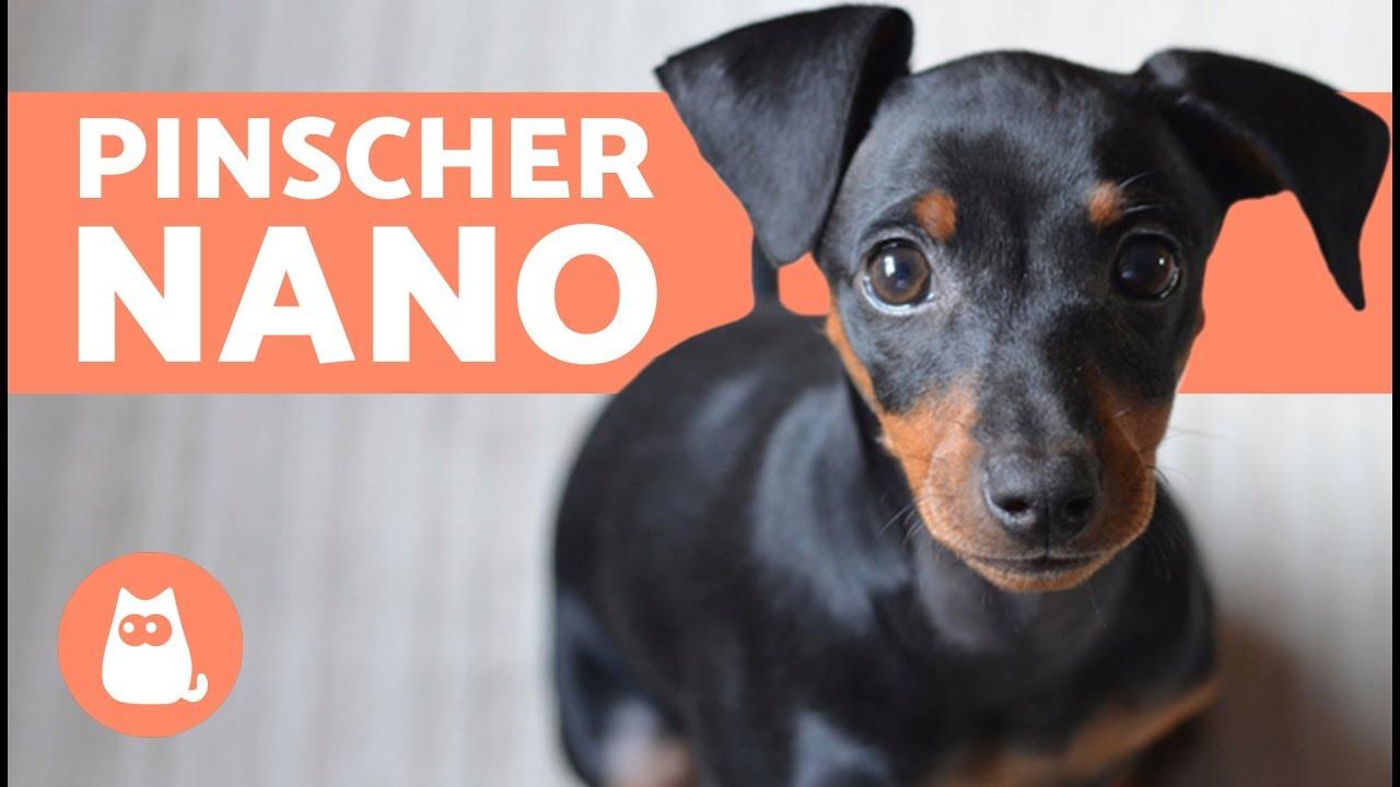 PINSCHER NANO: Documentario U2013 Razze Di Cani Di Piccola Taglia