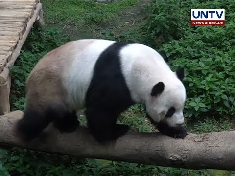 Giant Panda, masisilayan ng malapitan sa Zoo Negara sa Malaysia