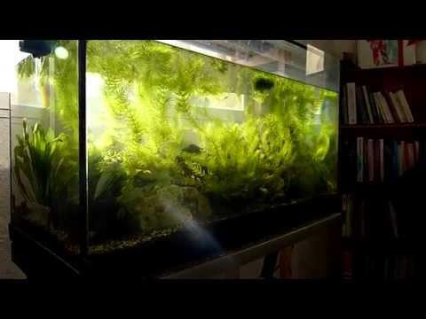 Ceratophyllum demersum foxtail / Plante à croissance rapide / Lumière naturelle